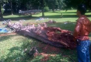 pohon tumbang di kebun raya bogor