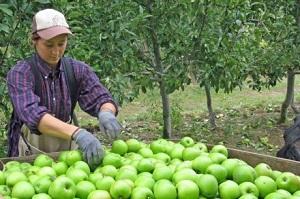 Foto ilustrasi pekerjaan musiman (sumber www.australiaplus.com)
